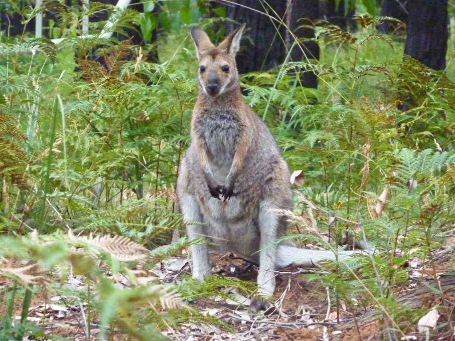 Wallaby du sud